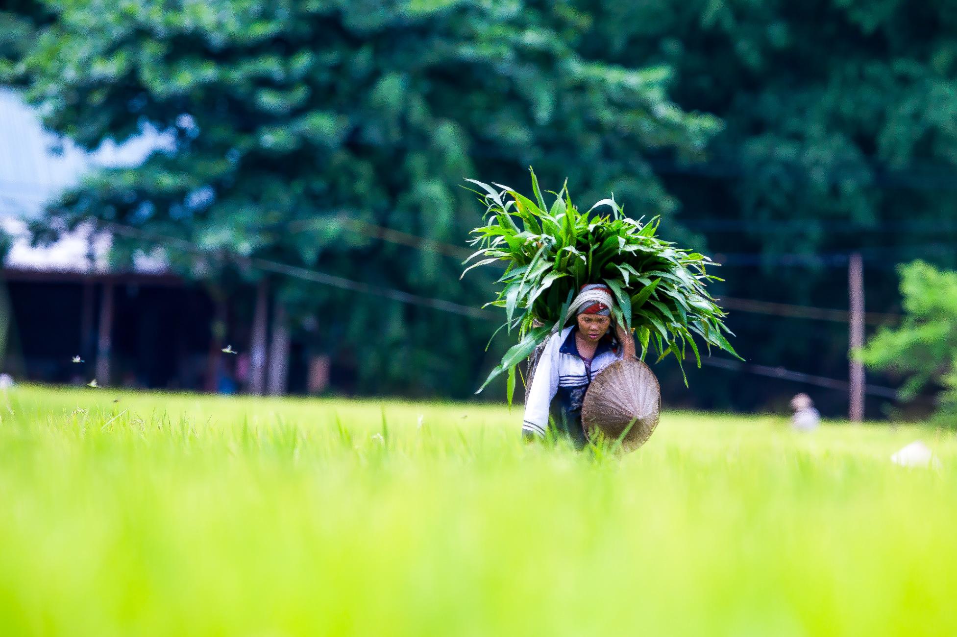 Asia Rice Field